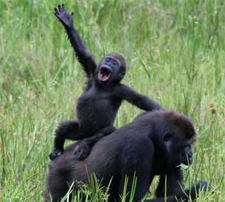 Gorilla-waving-080805